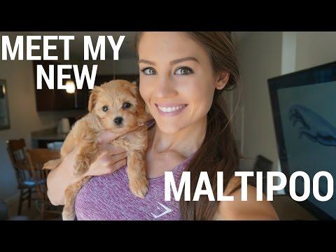 MEET MY NEW MALTIPOO