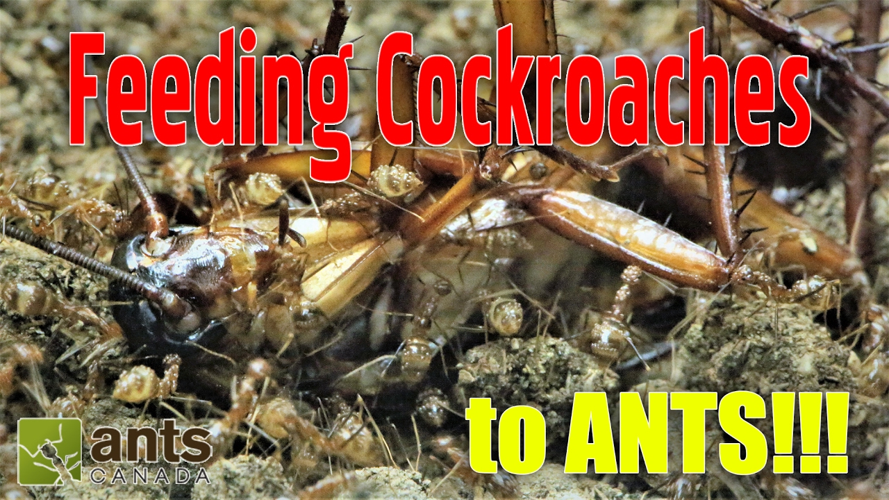 feeding-cockroaches-to-ants