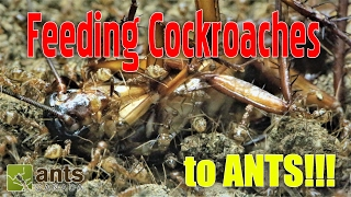 FEEDING COCKROACHES TO ANTS