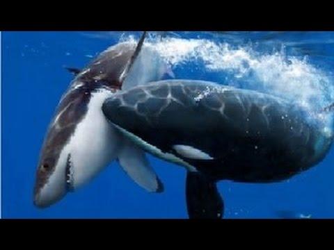 Documental De La ViDa - Ballenas Orcas Asesinas   Documentales National Geographic en Español