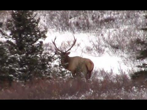 BC Elk And Sheep Hunting 2019