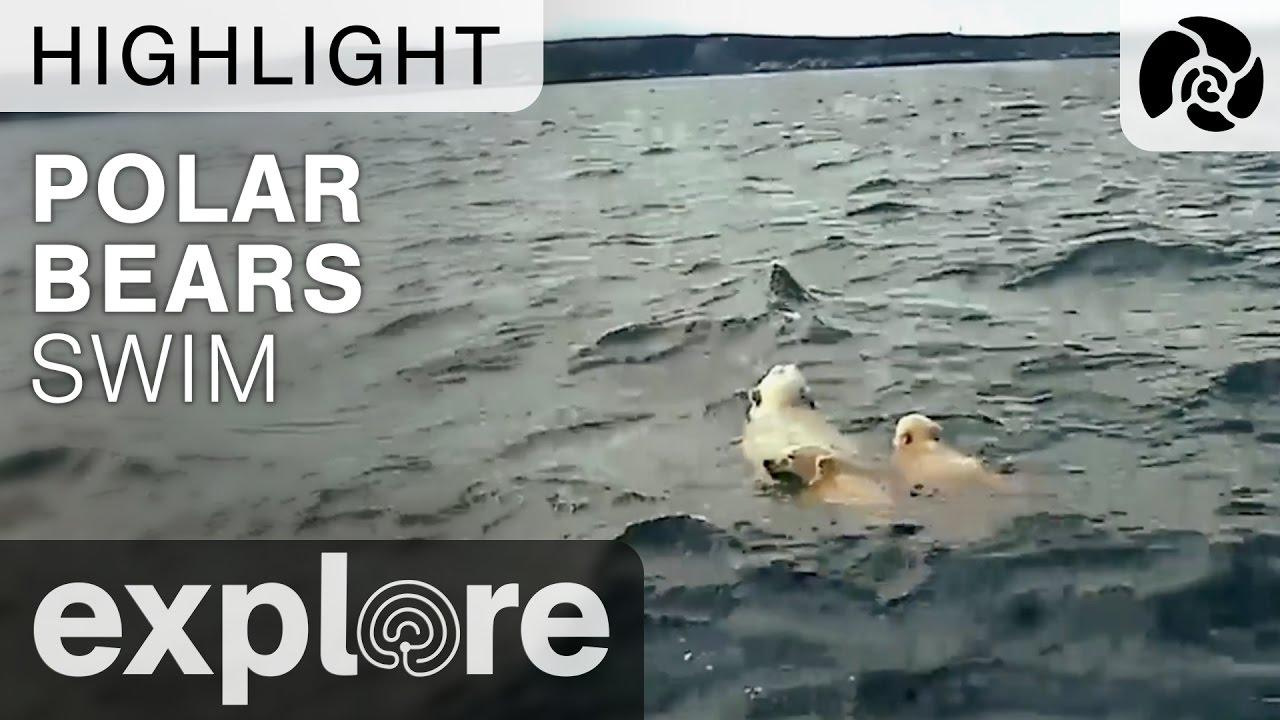 Polar Bears Swim - Beluga Tour Boat Escorts Bear Family Across River - Livecam Highlight