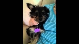 Toto Adorable Westie/yorkie Mix