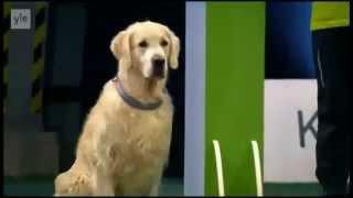 Конкурс собак 2014 - Золотой ретривер отжег!