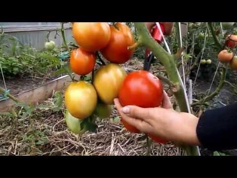 """Сорт томата """"Бычье сердце красное"""""""