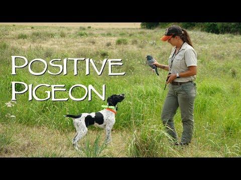 Positive Pigeons - Gun Dog Training