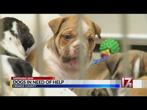 Orange County Animal Services Needs Help Caring For Abused Dogs