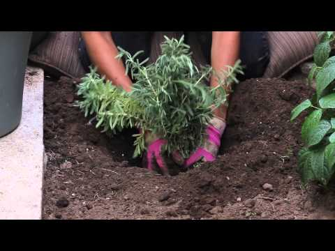 How to Plant Lavender in Late Summer & Fall : The Chef's Garden