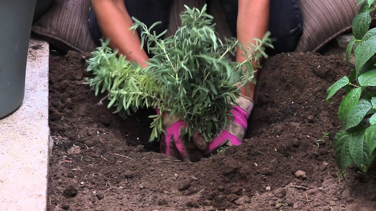 How To Plant Lavender In Late Summer Fall The Chef 39 S