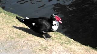 pato a la orilla del lago