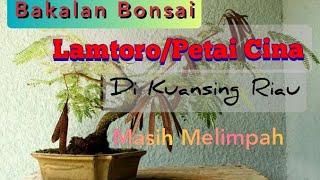 Bakalan bonsai petai cina/lamtoro dikuansing riau melimpah