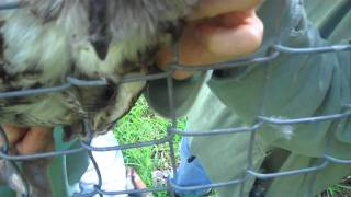 Amazing Rescue of Owl Stuck in Fence ~ www.aromayogaguide.com