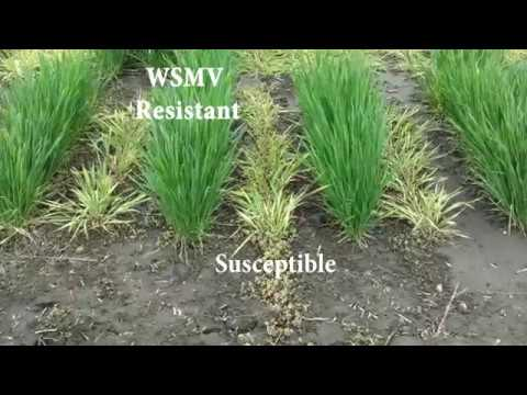 Symptoms of Mite-transmitted Viruses in Wheat