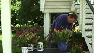 How to Transplant Mandevillas for Winter : Gardening Tips