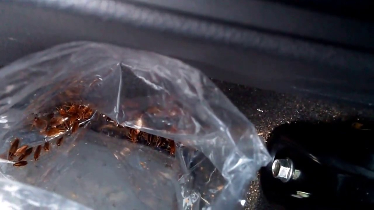 how to catch a cockroaches in your car - YouTube