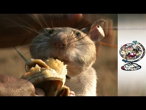 Rats are Saving Lives in Mozambique