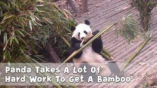 Panda Takes A Lot Of Hard Work To Get A Bamboo | iPanda