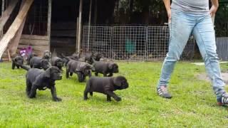 Download Video Criadero Mastín Napolitano - Puppies Neapolitan Mastiff MP3 3GP MP4
