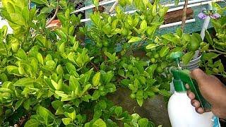 Neem oil, the best medicine for your plants//नीम का तेल, आपके पौधे की सबसे अच्छी दवा