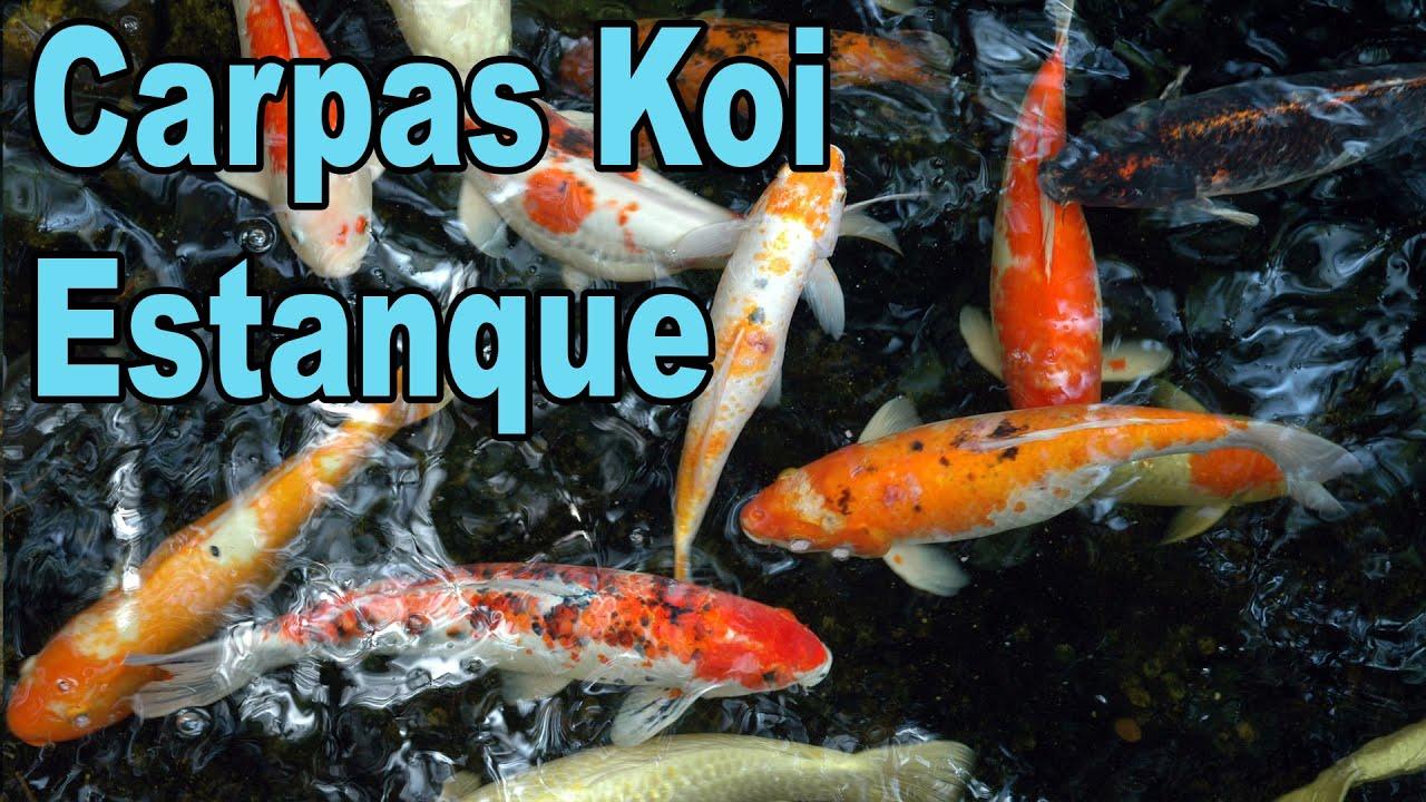 Estanque con carpas koi youtube for Carpa koi costo