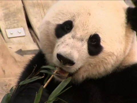 DC Zoo Says Bye Bye to Bao Bao the Giant Panda