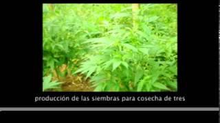 Economía campesina en Corinto, Cauca