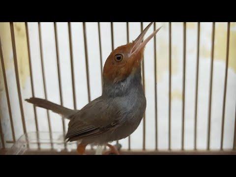 Suara Pikat Burung Prenjak Kepala Merah Klawu Jantan Gacor Durasi Panjang Youtube