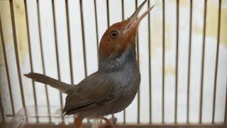 Suara Pikat Burung Prenjak Kepala Merah Klawu Jantan Gacor Durasi Panjang