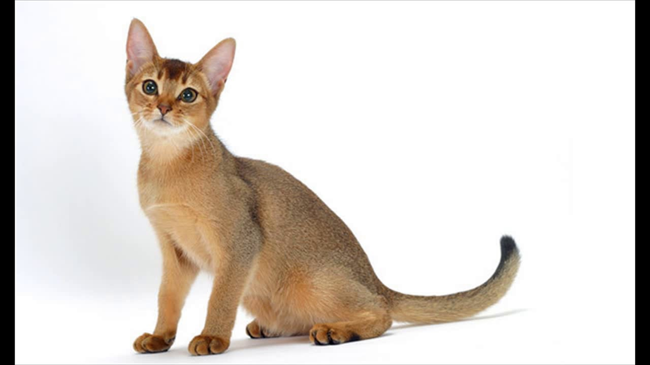 abyssinian cat breeders new england - YouTube