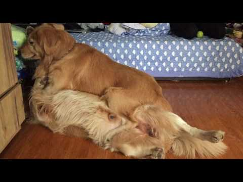 [dog fighting/chó chiến] Tun golden retriever was knocked out by Bob -