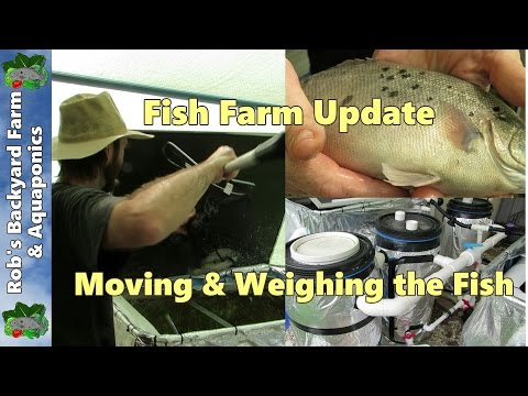 Fish Farm update. Moving & weighing the fish with ideas for modifying the system..