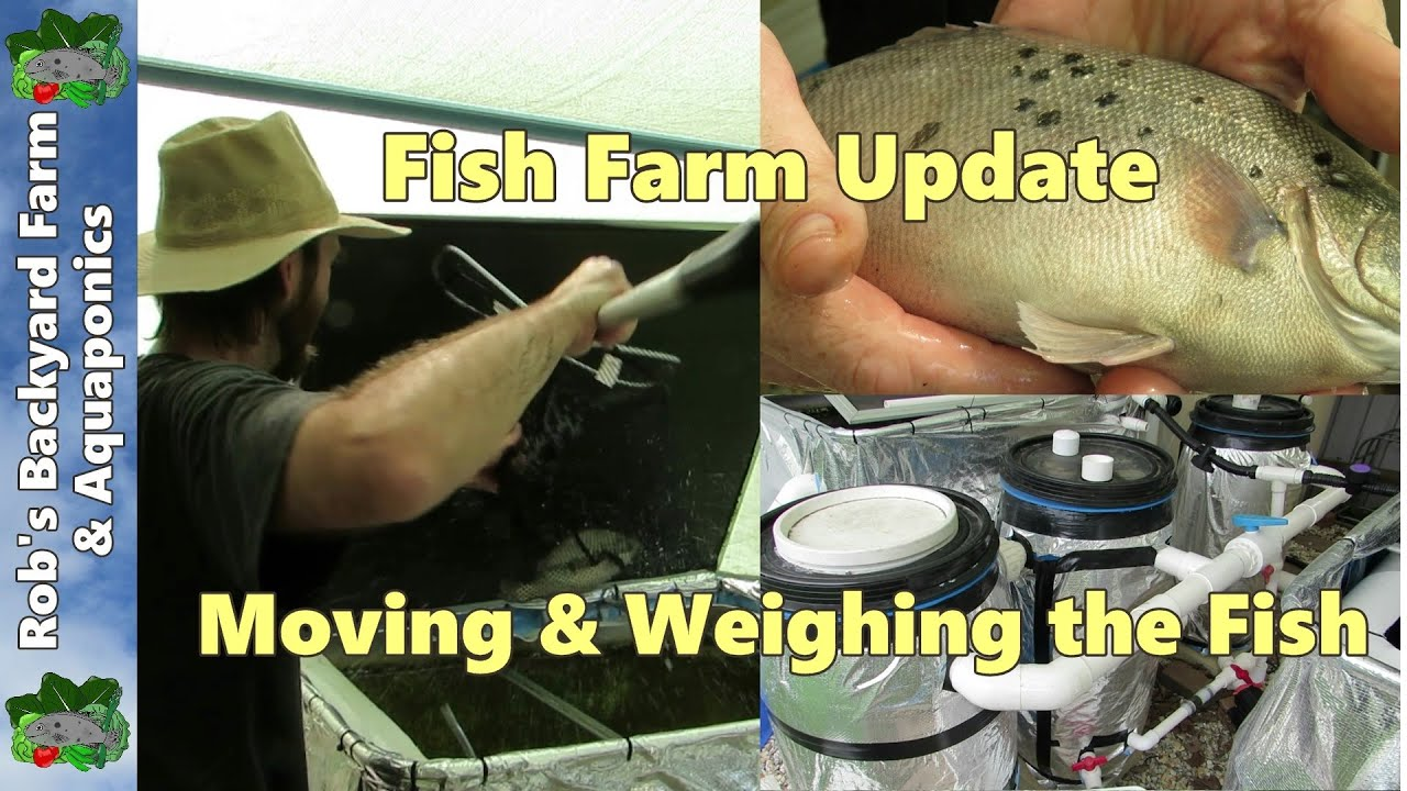 fish farm update moving u0026 weighing the fish with ideas for