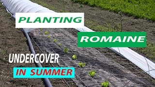 Planting ROMAINE Lettuce Undercover in HOT SUMMER WEATHER, Gardening for beginners 101