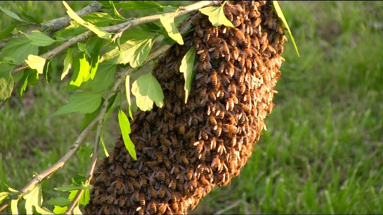 how to start your own beehive start with a swarm youtube