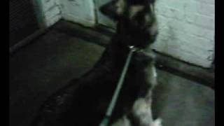 19 04 09 German Shepherd Dog/large/black-tan/female
