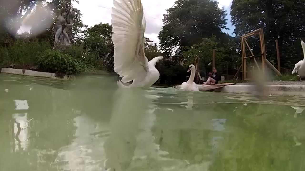 Cygnes boulogne billancourt youtube - Amenagement bassin poisson boulogne billancourt ...
