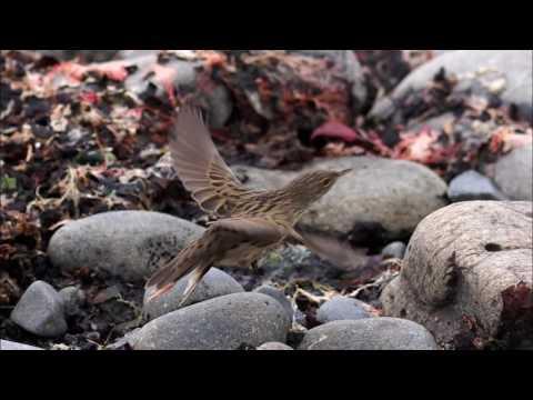 Rare birds on the Faroe Islands in autumn 2016