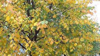 Осень в Нева граде.