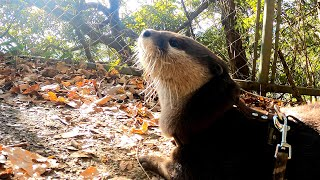 An uneventful walk one day in Noro Lodge [Otter life Day 391]【カワウソアティとにゃん先輩】