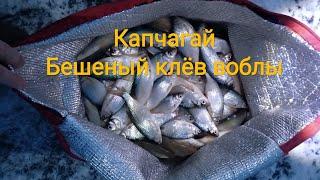 Бешеный клёв воблы Капчагайское водохранилище