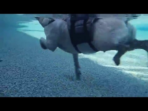 Pug Augustine swims in swimming pool with life jacket on - underwater view