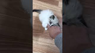 Котенок Невской Маскарадной породы тебби с белым
