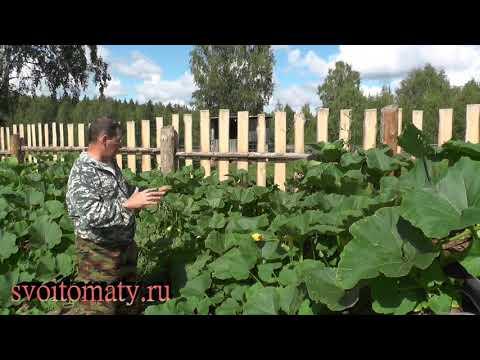 Вопрос: Как выращивать тыкву зимних сортов?