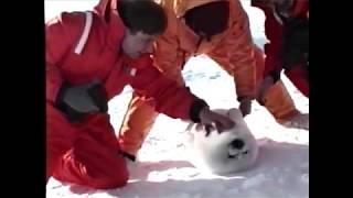 アザラシの赤ちゃんが人懐っこすぎるwww A seal baby is too friendly