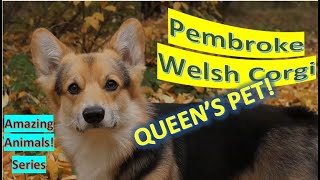 Pembroke Welsh Corgi  | Amazing Animals | Pet Dogs