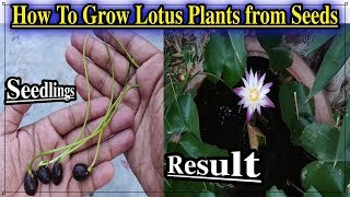 How To Grow Lotus Plant from Seeds ll How To Germinate Lotus Seeds in water