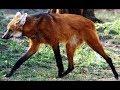 16 Weirdest Wildest Canids