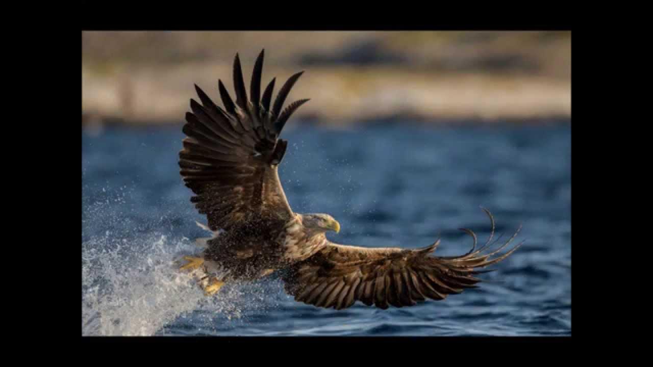 roofvogels de adelaar