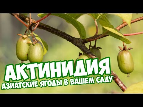 Актинидия 🍈 Посадка и Уход🌱 Сад и огород с Хитсад ТВ