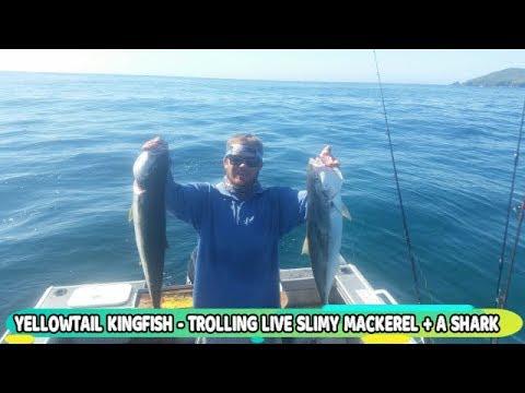Yellowtail Kingfish & Shark At Port Stephens